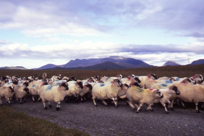 Sheep, County Kerry, Ireland, 1996